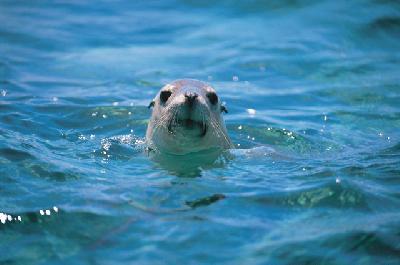 Neugieriger Seehund