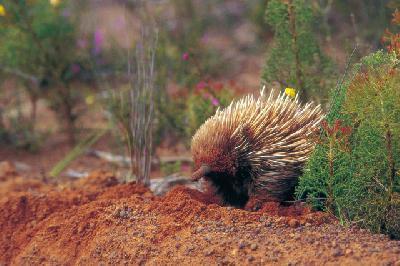 Echidna auf Kangaroo Island