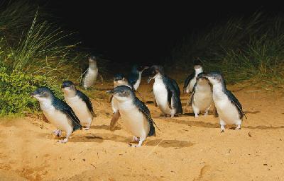 Pinguine, Phillip Island Nature Park