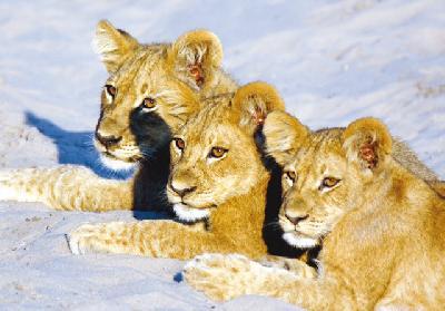 Aufmerksame Löwenkinder