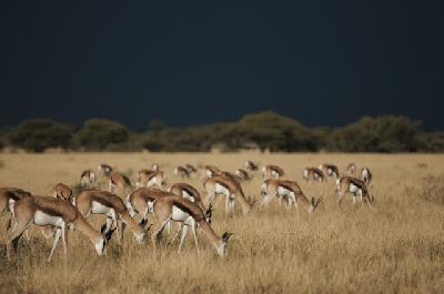 Springböcke in der Kalahari