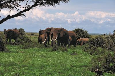 Elefanten im Amboseli NP