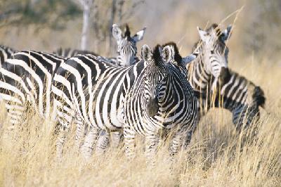 Zebras bei Lianshulu