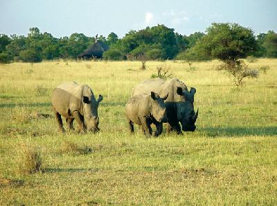 Nashornfamilie im Krüger Nationalpark