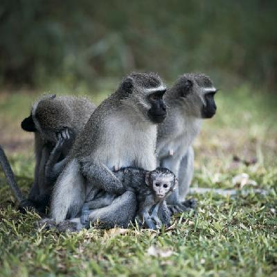 Vervet Monkey Familie im Krüger Nationalpark