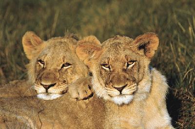 Löwen auf Kariega