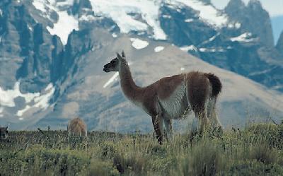 Lamas in den Bergen