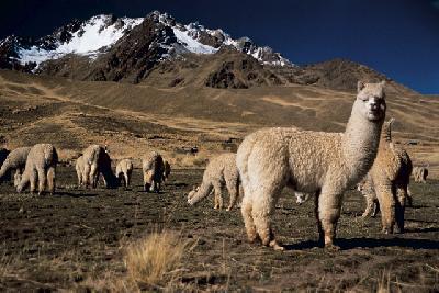 Alpacas im Hochland von Puno