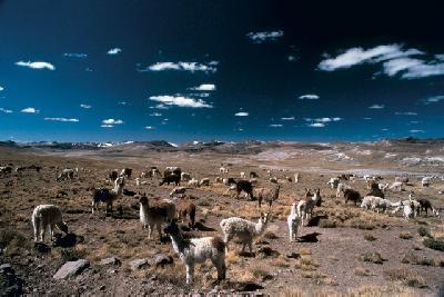 Alpacas in der Jallu Jallu Pampa