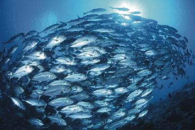 Makrelenschwarm