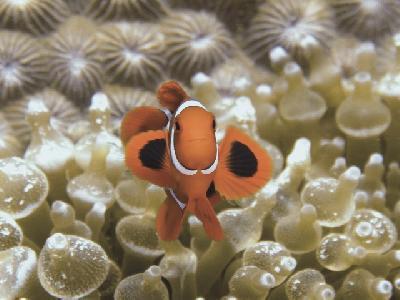 Clownfisch ©Lissenung Island Resort