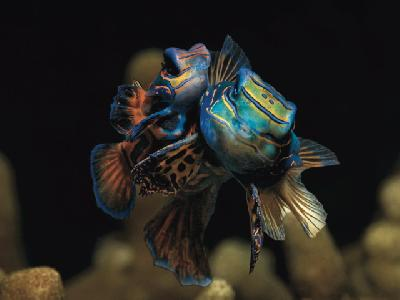 Mandarinfisch ©Tobias Friedrich