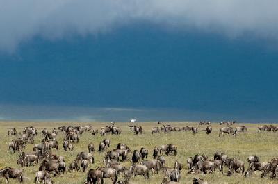 Gnus in Tanzania