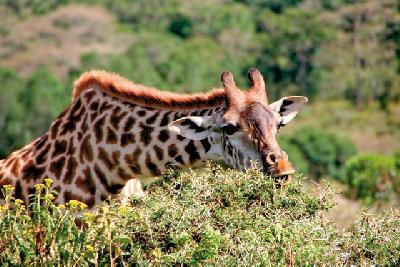 Giraffe im Amboseli NP
