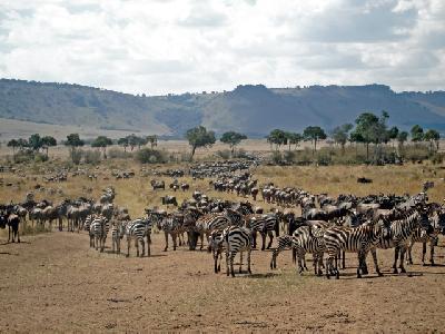 Große Zebra- und Gnuherden
