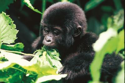 Junger Gorilla im Bwindi Impenetrable Forest