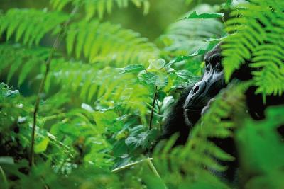 Berggorilla im Volcanoes Nationalpark