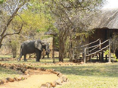 Elefant im Camp, Kafunta River Lodge