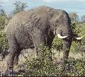 Elefant im Kr�ger Nationalpark